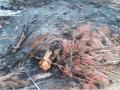 Coqueiros que foram queimados pelo ICMBio.